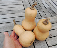 Mini Butternut