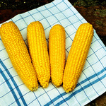 True Gold Sweet Corn